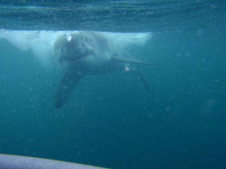Thailand shark diving, Tour Thailand